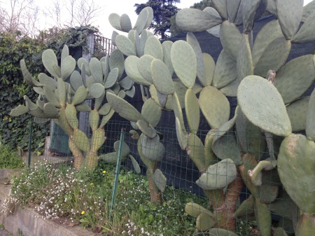 Large cacti alongside the road....along with the palm trees scattered among the city, shows the mediterranean atmosphere.