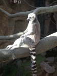 Strike a pose! Lemurs have human hands, and so much personality!
